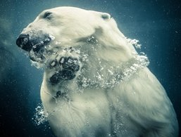 Photograph of a Polar Bear Swimming